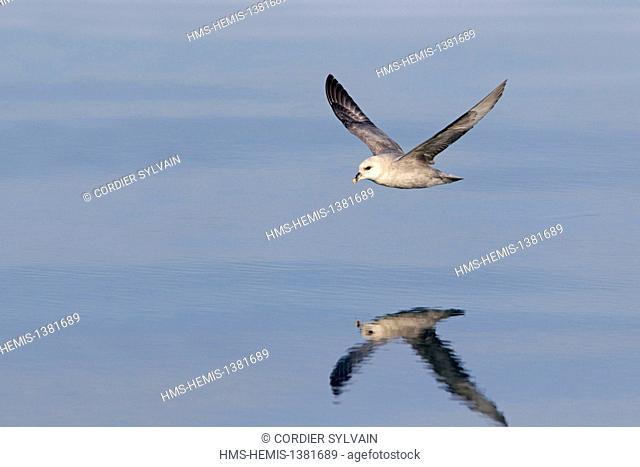 Norway, Svalbard, Spitsbergen, Northern Fulmar or Arctic Fulmar (Fulmarus glacialis) in flight