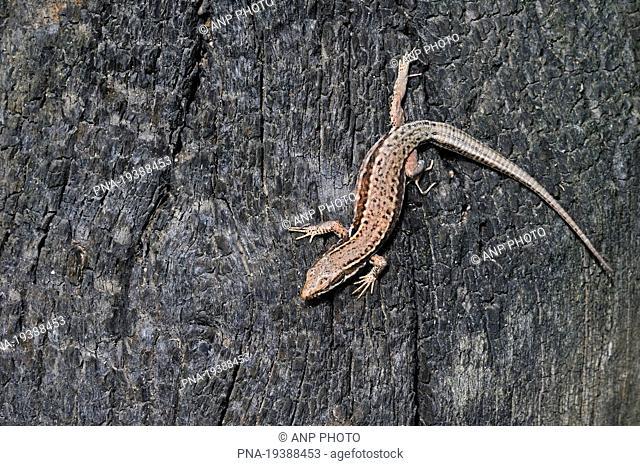 Wall Lizard Podarcis muralis - Parc naturel regional de La Brenne, Indre, Centre, France, Europe
