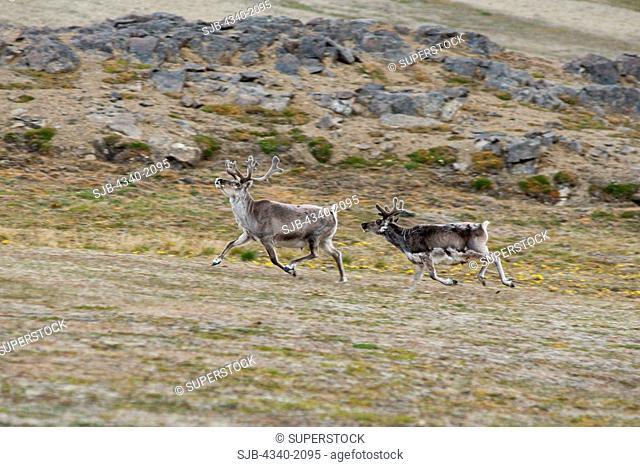 Svalbard reindeer Rangifer tarandus platyrhynchus a small subspecies of Rangifer tarandus, cow and calf traveling on the tundra, Sassenfjorden, Svalbard, Norway