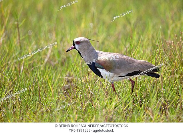Southern Lapwing, Vanellus chilensis, standing on meadow, Ilha do Mel, Brazil