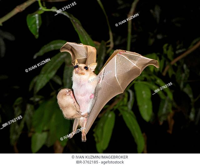 Peter's Dwarf Epauletted Fruit Bat (Micropteropus pusillus), female flying with a young bat on her belly, Greater Accra Region, Ghana