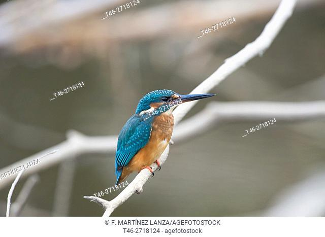 Common kingfisher (Alcedo atthis). Arroyo de Meaques, Madrid province, Spain