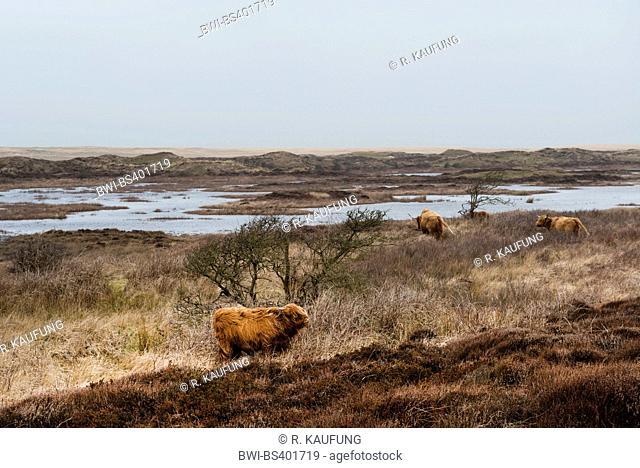 Scottish Highland Cattle, Kyloe (Bos primigenius f. taurus), herd in costal landscape, Netherlands, Texel