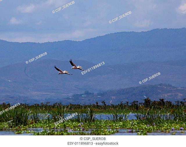 Pelicans flying over Lake Naivasha