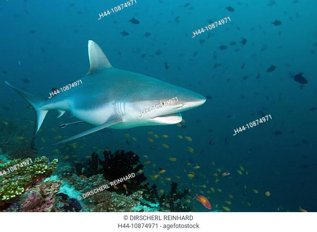 Grauer Riffhai, Carcharhinus amblyrhynchos, Hafsaa Thila, Nord Ari Atoll, Malediven, Grey Reef Shark, Carcharhinus amblyrhynchos, Hafsaa Thila, North Ari Atoll