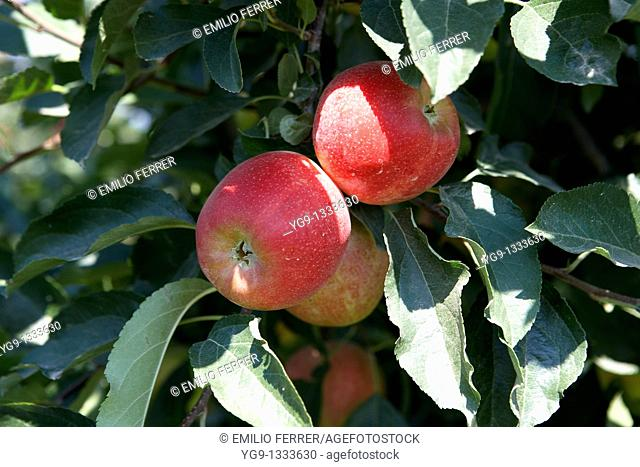 Apple Mundial Gala on a tree  LLeida  Spain