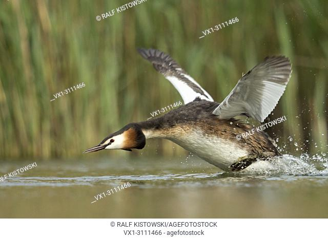 Great Crested Grebe / Haubentaucher ( Podiceps cristatus ) in a hurry, flapping its wings, taking off from a stretch of water, chasing a rival, Europe