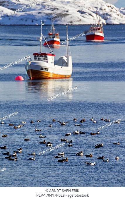 Common eiders (Somateria mollissima) flock swimming at sea in front of fishing boats in winter, Lofoten, Norway