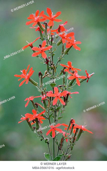 royal catchfly, Silene regia