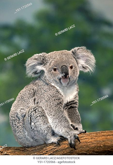 Koala, phascolarctos cinereus, Female standing on Branch
