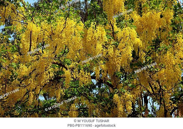 Sonalu or Golden shower Flower Dhaka, Bangladesh