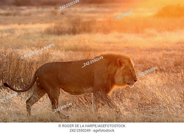 Masai lion or East African lion (Panthera leo nubica syn. Panthera leo massaica) male walking. Ruaha National Park. Tanzania