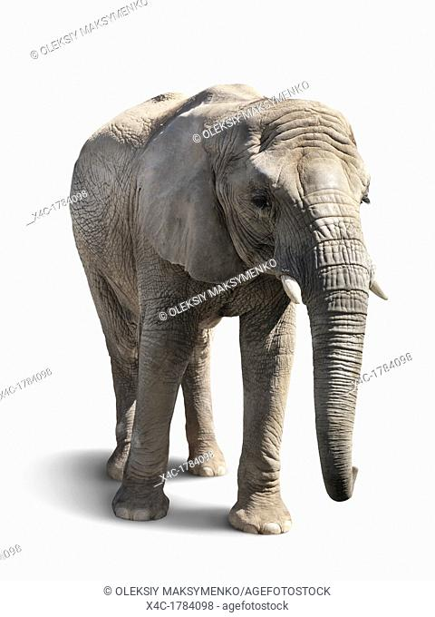 African elephant isolated on white background with a clipping path