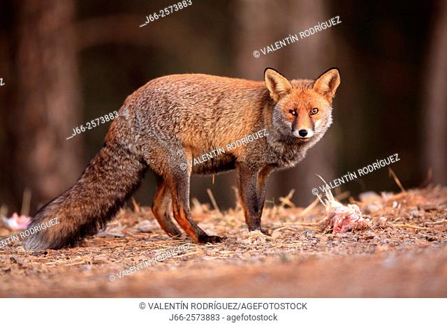 one-eye fox (Vulpes vulpes) in Sierra Morena. Córdoba