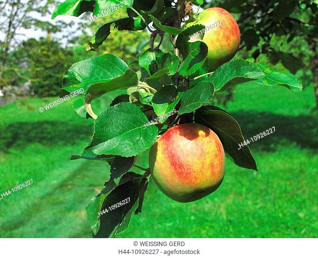 Tree, apple tree, branch, branch, knot, leaves, fruits apples, two, ripe, red, fruit, pomes, agriculture