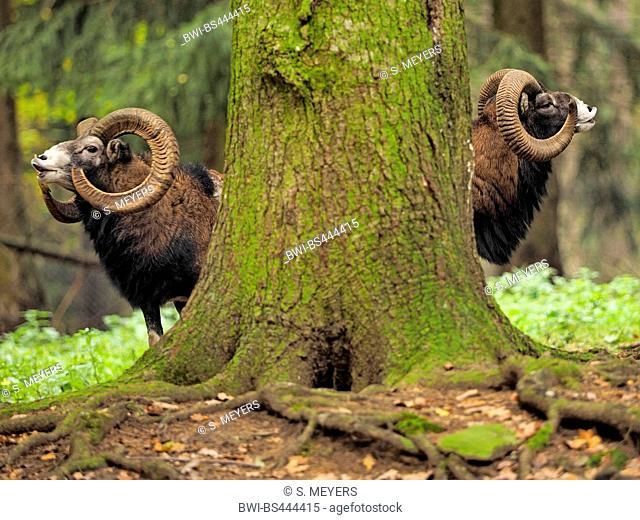 Mouflon (Ovis musimon, Ovis gmelini musimon, Ovis orientalis musimon), flehming males behind a tree trunk, Germany, Saxony
