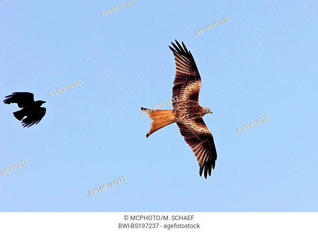 red kite (Milvus milvus), attacked by a crow, Germany