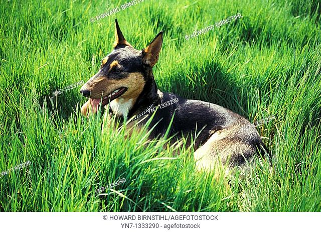 kelpie dog resting with its tongue out in the long lush green grass