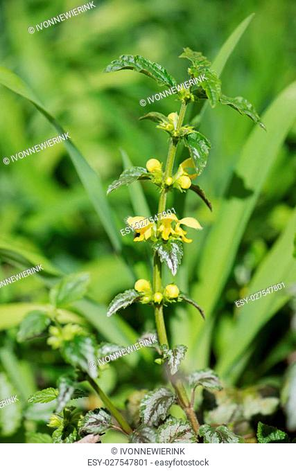yellow archangel plant in nature