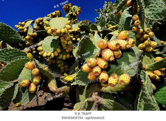 Indian fig, cactus pear (Opuntia ficus-indica, Opuntia ficus-barbarica), with mature fruits, Italy, Sardegna