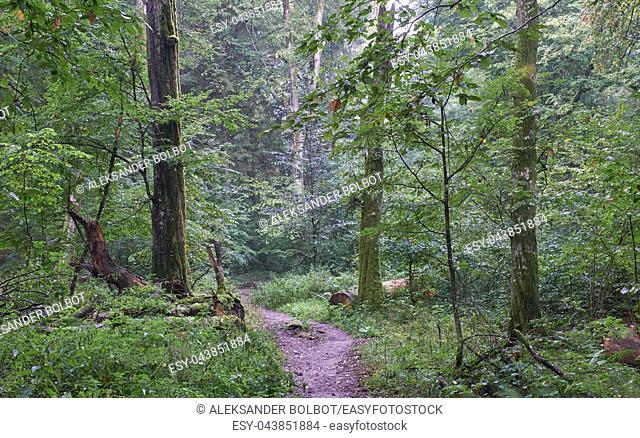 Tourist trail crossing summertime forest in mist rain after, Bialowieza Forest, Poland, Europe