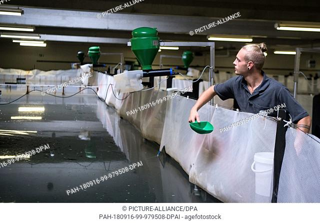 14 September 2018, Bavaria, Langenpreising: Daniel Lebert, fish farmer from Crusta Nova, feeds prawns (Pacific White Shrimp) in a tank