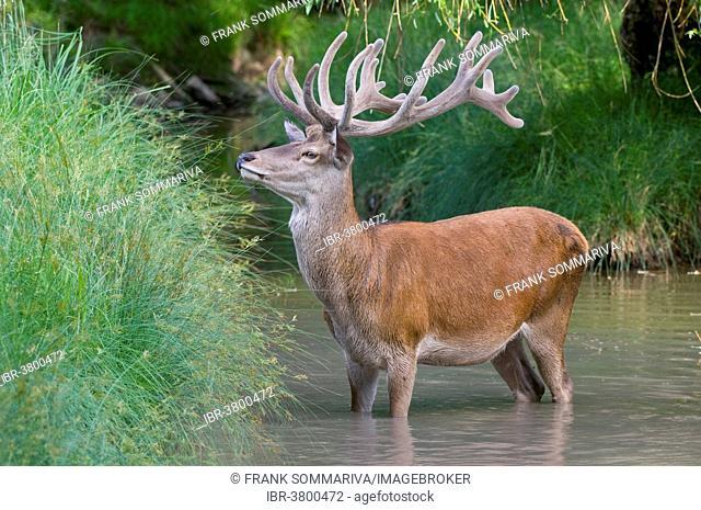 Red Deer (Cervus elaphus), stag with antlers in velvet cooling off in the water, captive, Bavaria, Germany