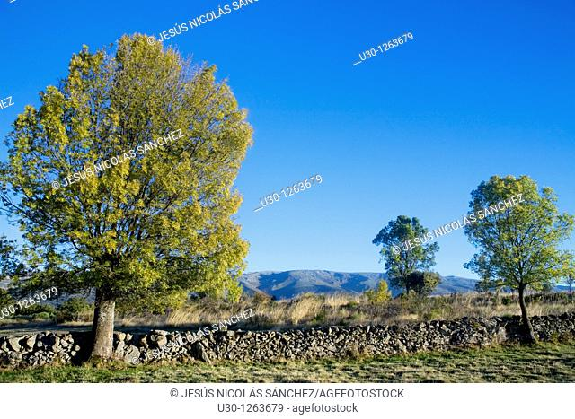 Yellow ash Fraxinus excelsior in autumn, in the Sierra de Valdesangil, with the Sierra de Béjar at the end, Salamanca province