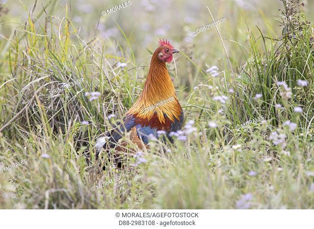 India, State of Assam, Kaziranga National Park, Red Junglefowl (Gallus gallus), male, wild
