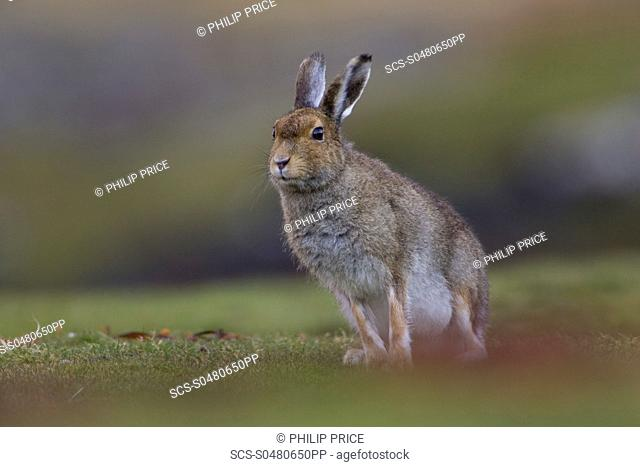 Irish Hare Lepus timidus, sub species hibernicus grazing on a coastal grassy knoll Argyll and the Islands, Scotland, UK