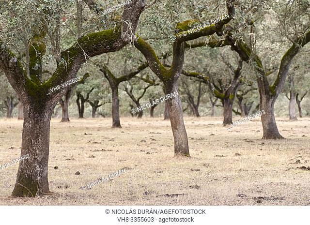 Dehesa, Oak forest, in summer, Extremadura, Spain