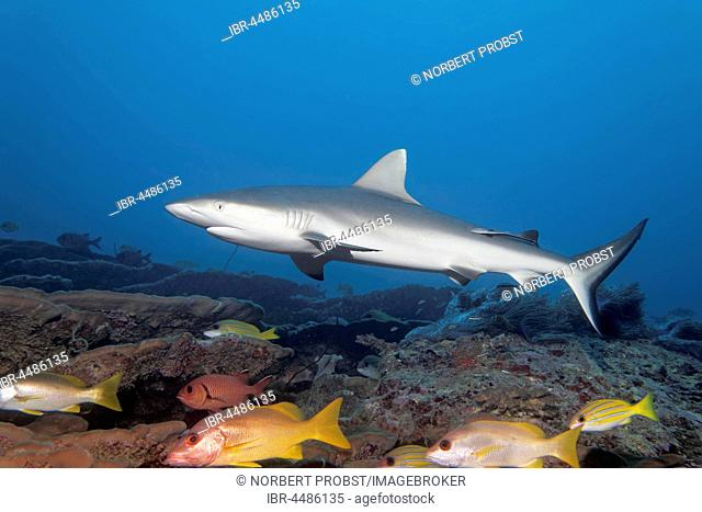 Gray reef shark (Carcharhinus amblyrhinchus), Coral Reef, Indian Ocean, Maldives