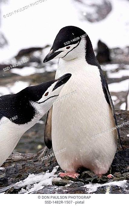 Pair of Chinstrap penguins Pygoscelis antarcticus, Cooper Bay, South Georgia Island, South Sandwich Islands