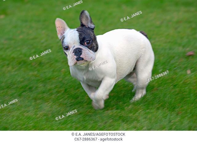 French Bulldog running in garden