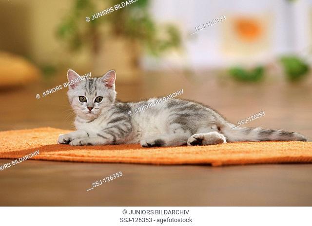 British Shorthair kitten - lying on rug restrictions:Tierratgeber-Bücher / animal guidebooks
