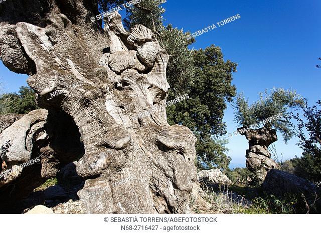 Olive tree at Planicia, Banyalbufar, Majorca, Spain