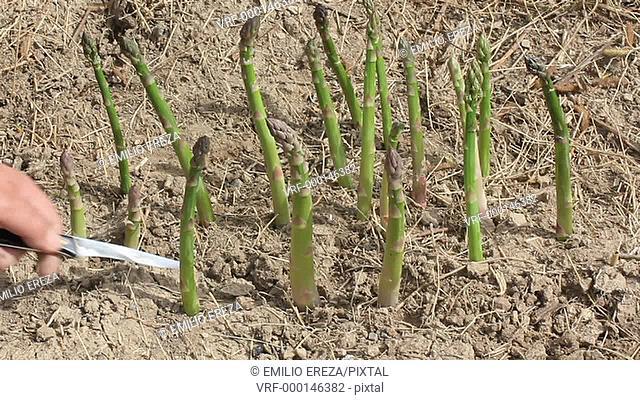 Harvesting asparagus. Lleida, Catalonia, Spain