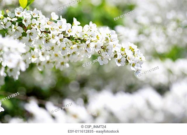 white Spiraea thunbergii