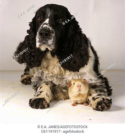 English Springer Spaniel and cream guinea pig