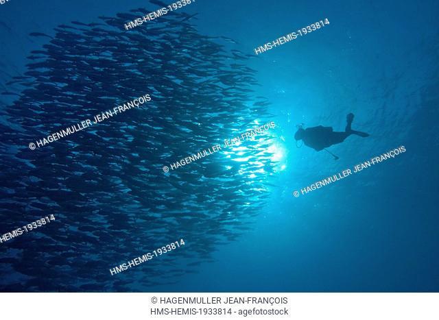 Philippines, Visayas, Cebu, skipjack tuna (Katsuwonus pelamis) and diver in the Sulu sea