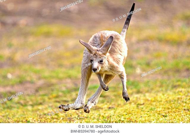 eastern gray kangaroo (Macropus giganteus), juvenile in a meadow