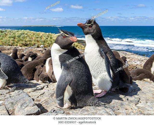 Rockhopper Penguin (Eudyptes chrysocome), subspecies Southern Rockhopper Penguin (Eudyptes chrysocome chrysocome). South America, Falkland Islands, January