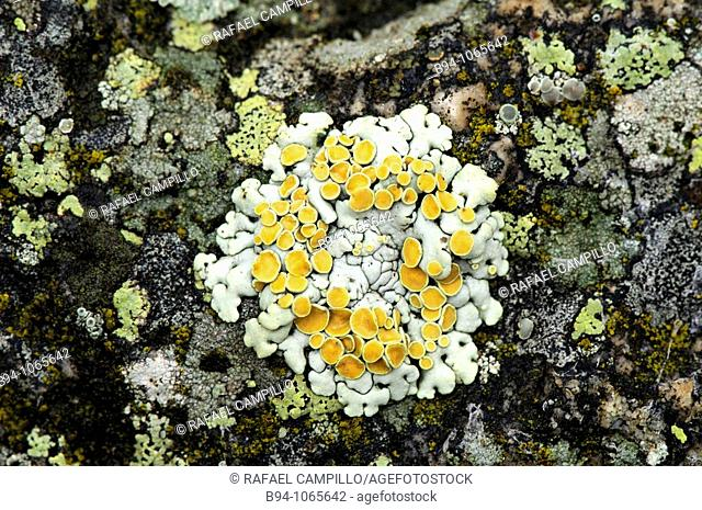 Lichens (Physcia sp., Xanthoria sp.). Osseja, Languedoc-Roussillon, Pyrenees Orientales, France