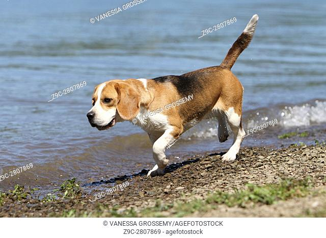 A Beagle dog marks the stop at a lake