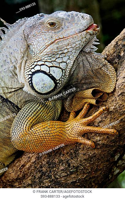A large lizard in the Rimba reptile park in Ubud, Bali