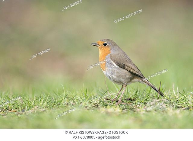 Robin Redbreast ( Erithacus rubecula ) sitting on the ground, singing its song, side view, typical garden bird in Europe