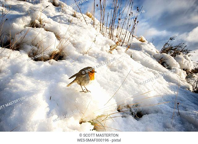 UK, Scotland, Isle of Skye, European Robin (Erithacus Rubecula) sitting on snow in the sun