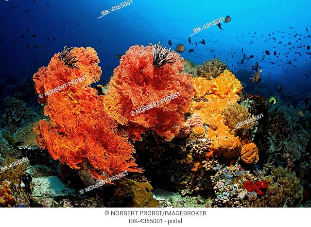 Coral colony, fish, invertebrates, stony coral, soft coral, gorgonian, sponge, sea squirt, Great Barrier Reef, Queensland, Cairns, Pacific Ocean, Australia