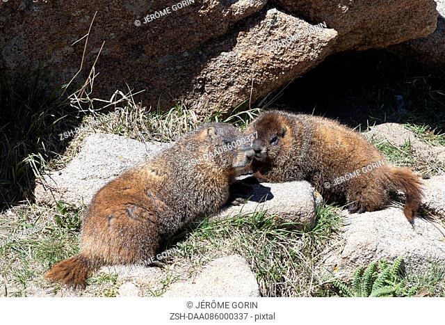 Yellow-bellied marmots (Marmota flaviventris), Rocky Mountain National Park, Colorado, USA