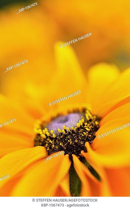 Cone flower Rudbeckia hirta 'Tiger Eye'